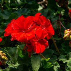 Muškát, pelargonie páskatá klasická 'Dark Red' - Pelargonium zonale 'Dark Red'