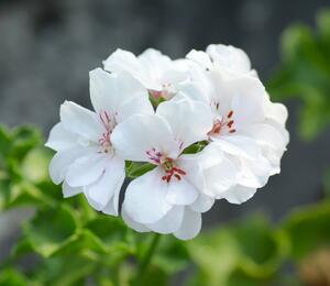 Muškát, pelargonie převislá plnokvětá 'Double White' - Pelargonium peltatum 'Double White'