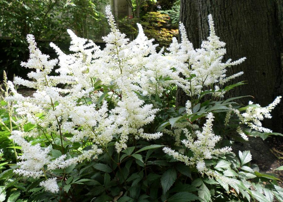 Čechrava čínská 'Diamonds and Pearls' - Astilbe chinensis 'Diamonds and Pearls'