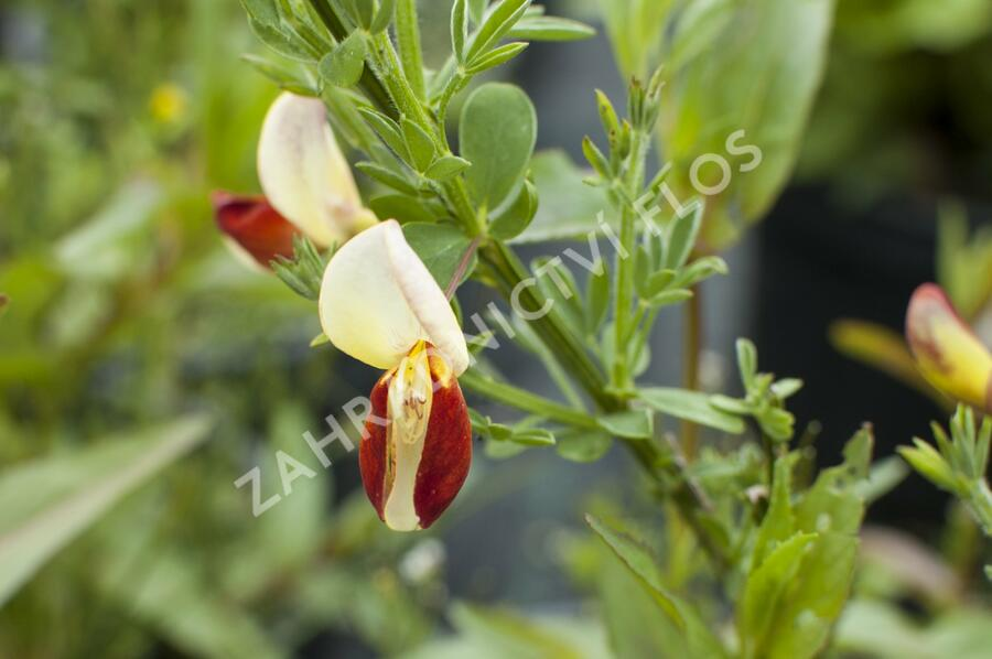 Čilimník 'Queen Mary' - Cytisus 'Queen Mary'