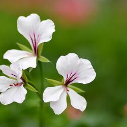 Muškát, pelargonie převislá jednoduchá 'Ville de Paris White' - Pelargonium peltatum 'Ville de Paris White'
