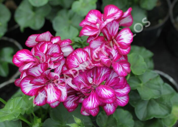 Muškát, pelargonie převislá plnokvětá 'Double Bicolor Magenta' - Pelargonium peltatum 'Double Bicolor Magenta'