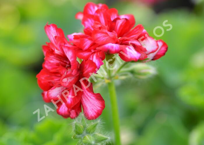 Muškát, pelargonie převislá plnokvětá 'Double Bicolor Dark Red' - Pelargonium peltatum 'Double Bicolor Dark Red'