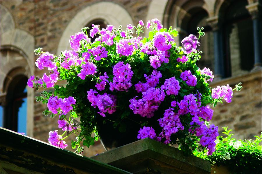Muškát, pelargonie převislá plnokvětá 'Double Mauve' - Pelargonium peltatum 'Double Mauve'