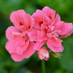 Muškát, pelargonie převislá plnokvětá 'Double Light Pink' - Pelargonium peltatum 'Double Light Pink'