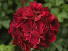 Muškát, pelargonie převislá plnokvětá 'Double Dark Red' - Pelargonium peltatum 'Double Dark Red'