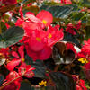 Begónie 'Red with Bronze Leaf' - Begonia benariensis 'Red with Bronze Leaf'