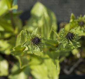 Stokesie 'Honeysong Purple' - Stokesia laevis 'Honeysong Purple'