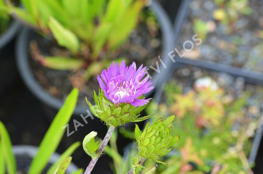 Stokesie 'Honeysong Purple' - Stokesia laevis 'Honeysong Purple'