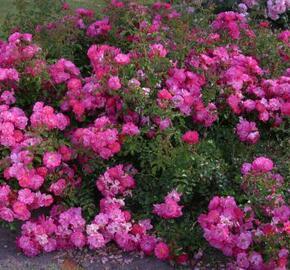 Růže mnohokvětá Kordes 'Neon' - Rosa MK 'Neon'