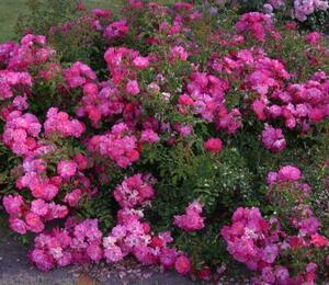 Růže mnohokvětá 'Neon' - Rosa MK 'Neon'