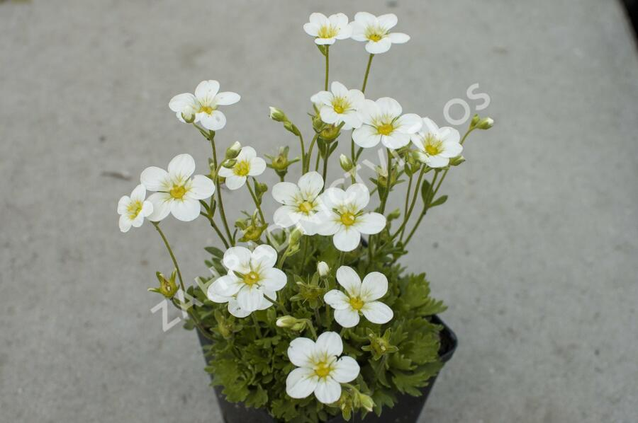 Lomikámen arendsův 'Touran Early Lime' - Saxifraga x arendsii 'Touran Early Lime'