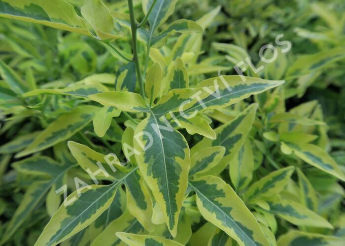 Lilek jasmínovitý 'Variegata' - Solanum jasminoides 'Variegata'