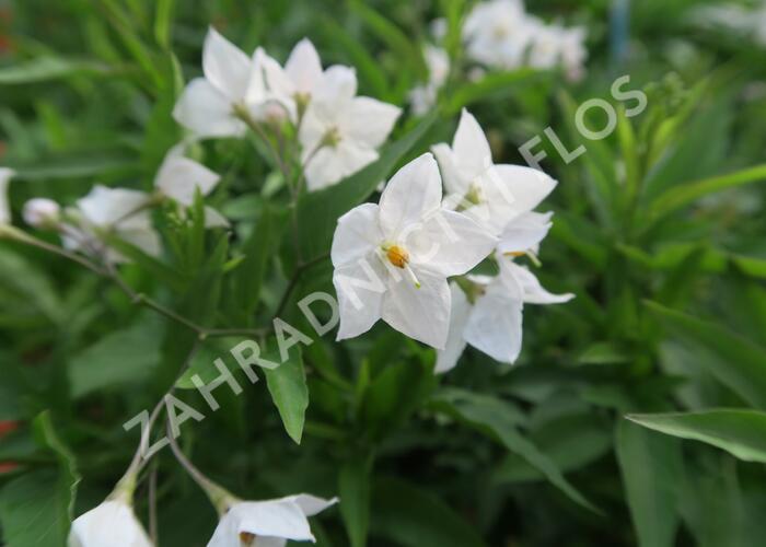 Lilek jasmínovitý 'Early White' - Solanum jasminoides 'Early White'
