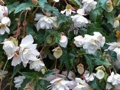 Begónie hlíznatá 'Illumination White' - Begonia tuberhybrida 'Illumination White'
