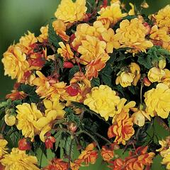 Begónie hlíznatá 'Illumination Apricot' - Begonia tuberhybrida 'Illumination Apricot'