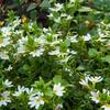 Vějířovka nezlomná 'White' - Scaevola aemula 'White'