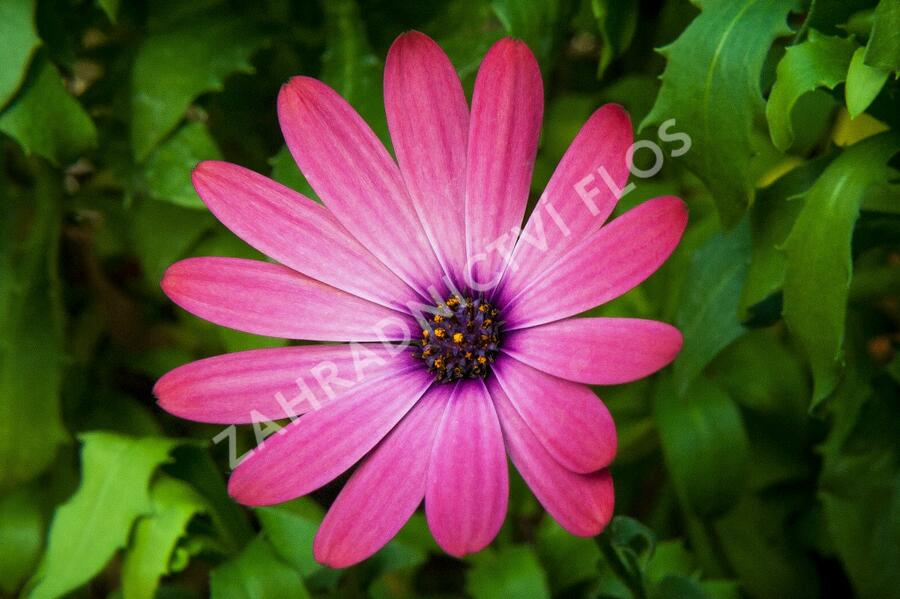 Dvoutvárka 'Serenity Rose Magic' - Osteospermum ecklonis 'Serenity Rose Magic'