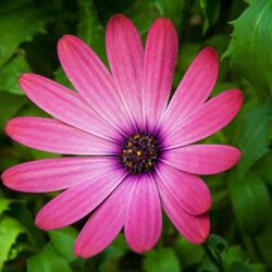Dvoutvárka 'Serenity Rose Magic' - Osteospermum ecklonis 'Serenity Rose Magic'