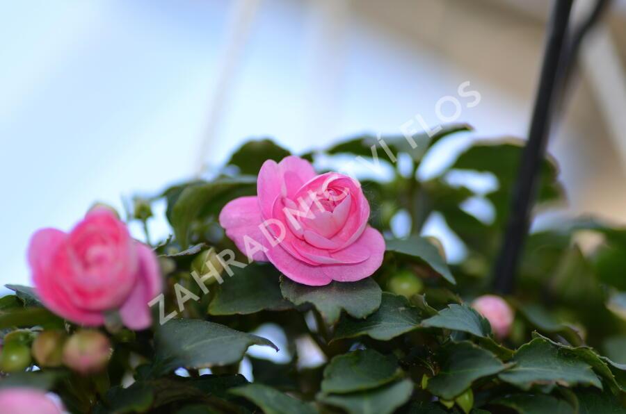Netýkavka turecká 'Diadem Pink' - Impatiens walleriana 'Diadem Pink'