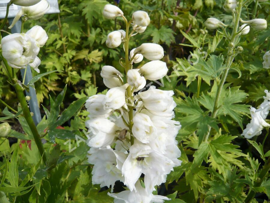 Ostrožka 'Excalibur Pure White' - Delphinium x cult. 'Excalibur Pure White'