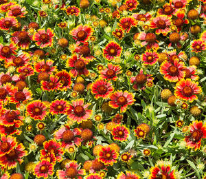 Kokarda osinatá 'Sunrita Red Yellow Tip' - Gaillardia aristata 'Sunrita Red Yellow Tip'