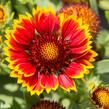 Kokarda osinatá 'Sunrita Red Yellow Tip' - Gaillardia aristata 'Sunrita Red Yellow Tip'