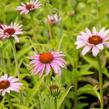 Třapatka nachová 'Prairie Splendor Rose Compact' - Echinacea purpurea 'Prairie Splendor Rose Compact'