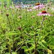 Třapatka nachová 'Magnus' - Echinacea purpurea 'Magnus'