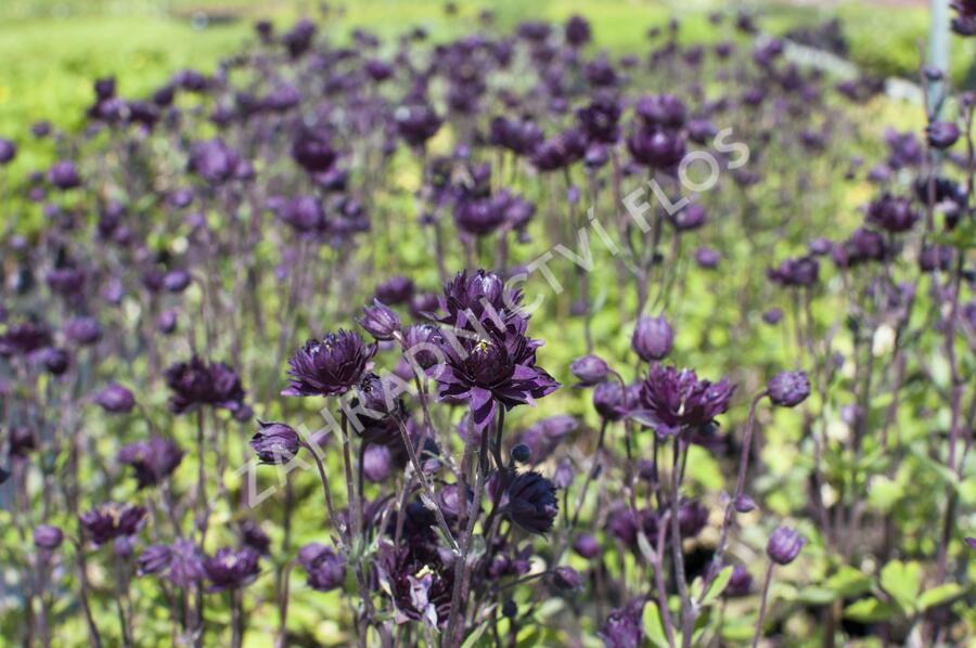 Orlíček obecný 'Clementine Purple Dark' - Aquilegia vulgaris 'Clementine Purple Dark'
