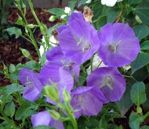 Zvonek karpatský 'Pearl Blue' - Campanula carpatica 'Pearl Blue'
