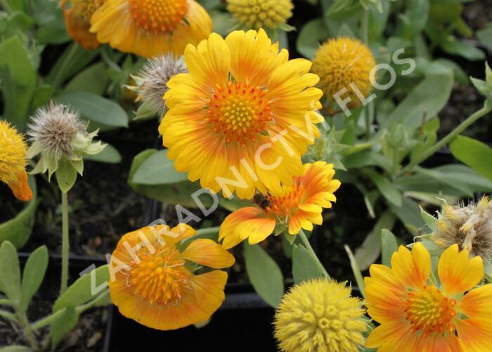 Kokarda osinatá 'Sunrita Yellow' - Gaillardia aristata 'Sunrita Yellow'