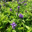 Zvonek klubkatý 'Bellefleur Blue' - Campanula glomerata 'Bellefleur Blue'