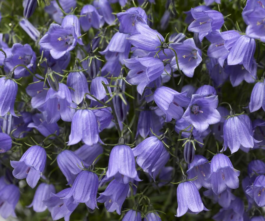 Zvonek lžičkolistý 'Swinging Bells Blue' - Campanula cochleariifolia 'Swinging Bells Blue'
