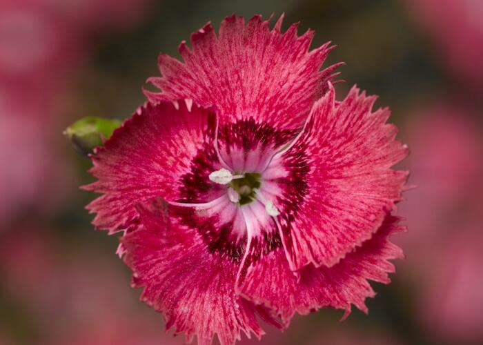 Hvozdík péřitý  'Dixie Deep Rose' - Dianthus plumarius 'Dixie Deep Rose'