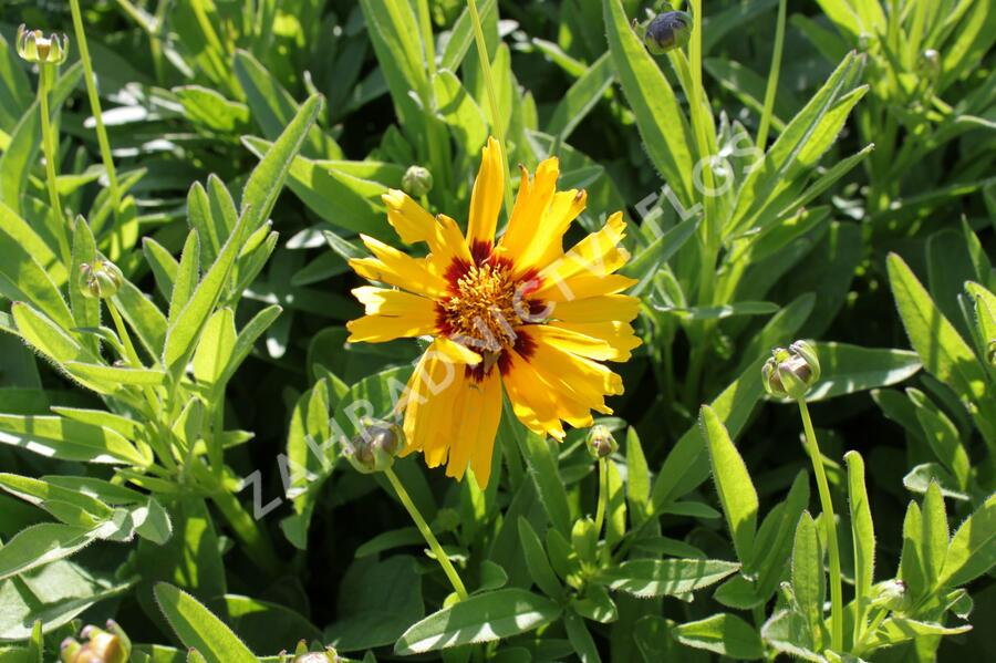 Krásnoočko velkokvěté 'Corey Yellow' - Coreopsis grandiflora 'Corey Yellow'