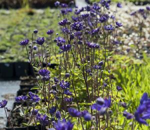 Orlíček obecný 'Clementine Blue' - Aquilegia vulgaris 'Clementine Blue'