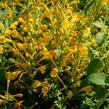 Agastache 'Agadir Yellow' - Agastache aurantiaca 'Agadir Yellow'