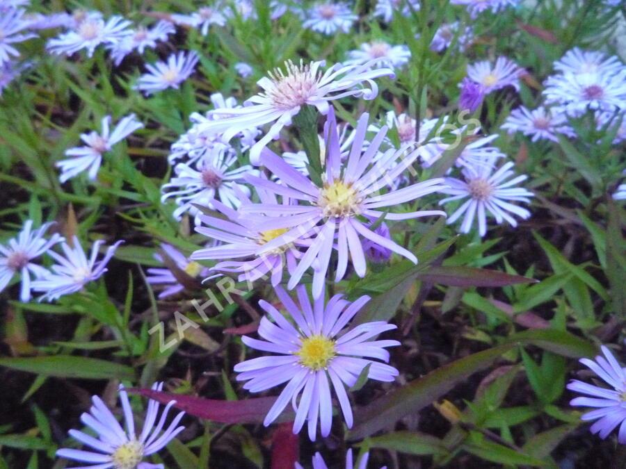 Hvězdnice novobelgická 'Blütenmeer' - Aster novi-belgii 'Blütenmeer'