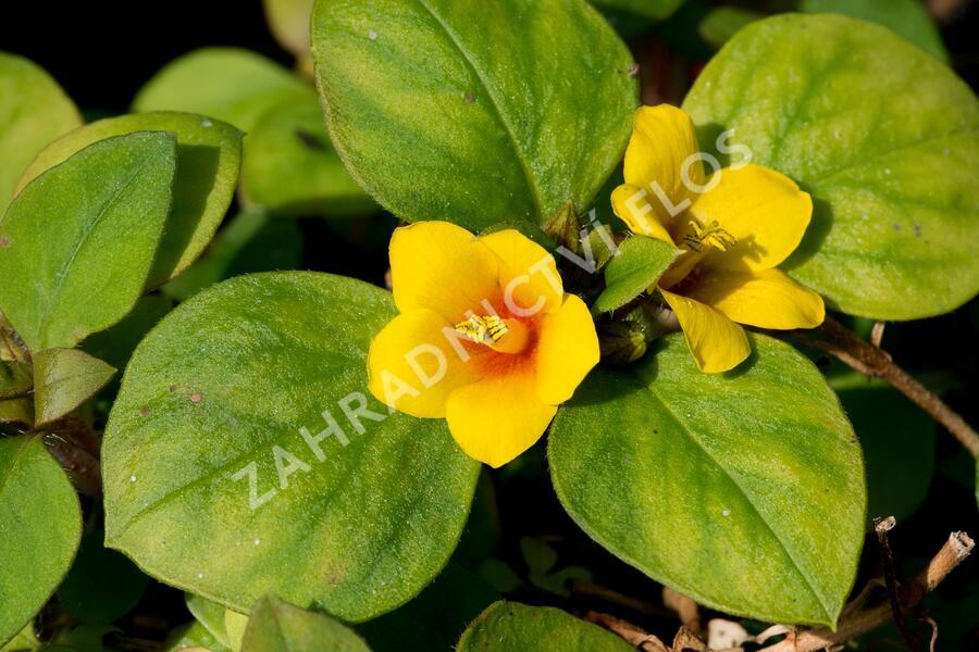 Vrbina 'Lyssi' - Lysimachia congestifolia 'Lyssi'