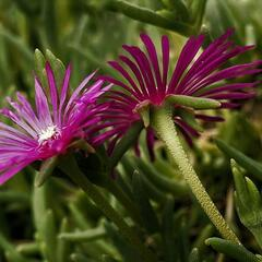 Lamparantus 'Rosa' - Lampranthus roseus 'Rosa'