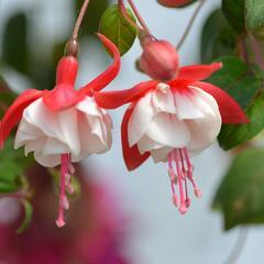 Čílko, fuchsie 'Swingtime' - Fuchsia hybrida 'Swingtime'