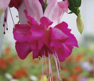 Čílko, fuchsie 'Bella Rosella' - Fuchsia hybrida 'Bella Rosella'