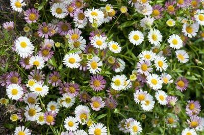 Turan Karvinského 'Summer Daisy' - Erigeron karvinskianum 'Summer Daisy'