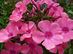 Plamenka latnatá 'Windsor' - Phlox paniculata 'Windsor'