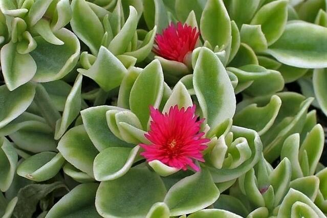 Kosmatec sedmikráskovitý 'Mezzo Trailing Red' - Dorotheanthus bellidiformis 'Mezzo Trailing Red'