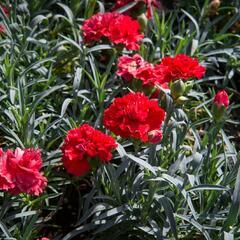Hvozdík karafiát 'Sunflor Vulcano' - Dianthus caryophyllus 'Sunflor Vulcano'