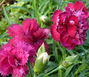 Hvozdík karafiát 'Fontaine Dark Red' - Dianthus caryophyllus 'Fontaine Dark Red'