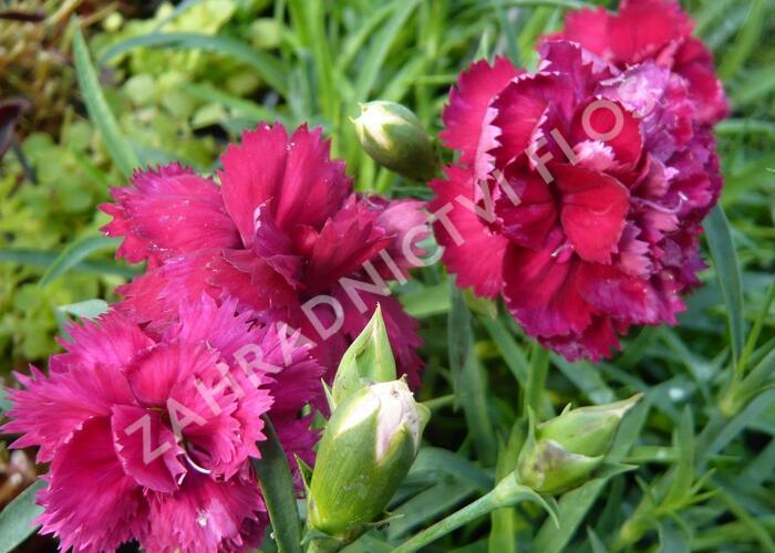 Hvozdík karafiát 'Fontaine Dark Red' - Dianthus caryophyllus 'Fontaine Dark Red'