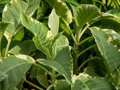 Durman 'Variegata' - Brugmansia (Datura) arborea 'Variegata'